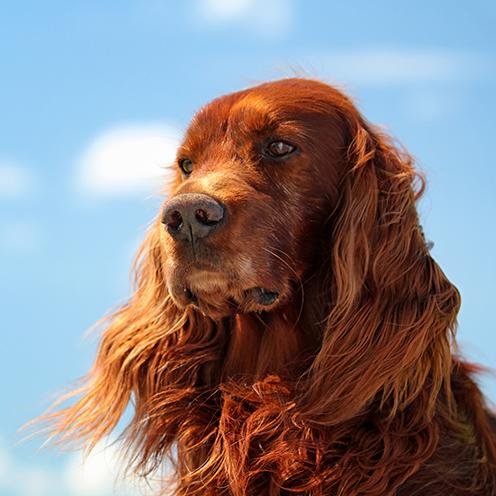 cani capelli